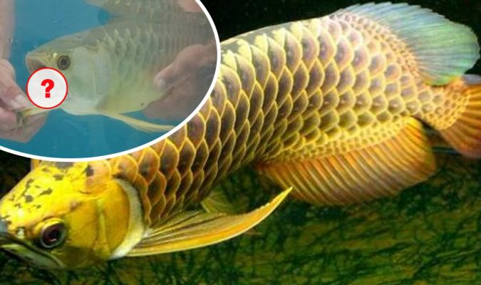 A Man Bought An Expensive Gold Arowana When He Wants To Feed The