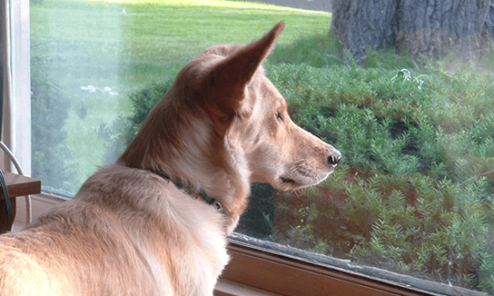Dog Stares Out Window At Cat