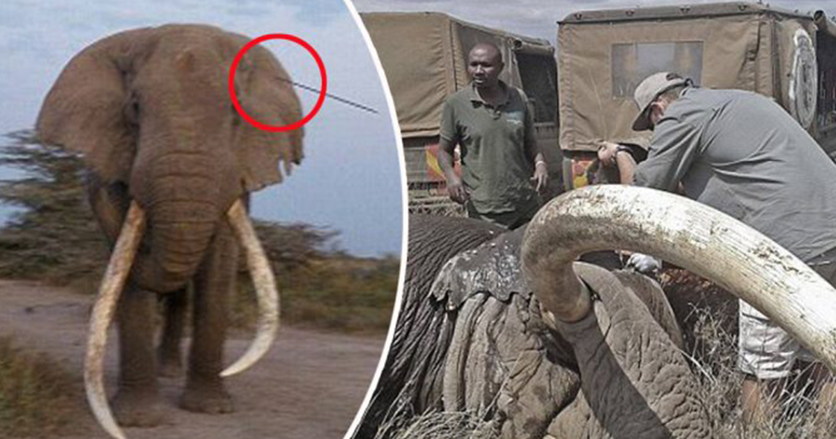 Kenya's oldest elephant seeks help from humans after being wounded by a spear
