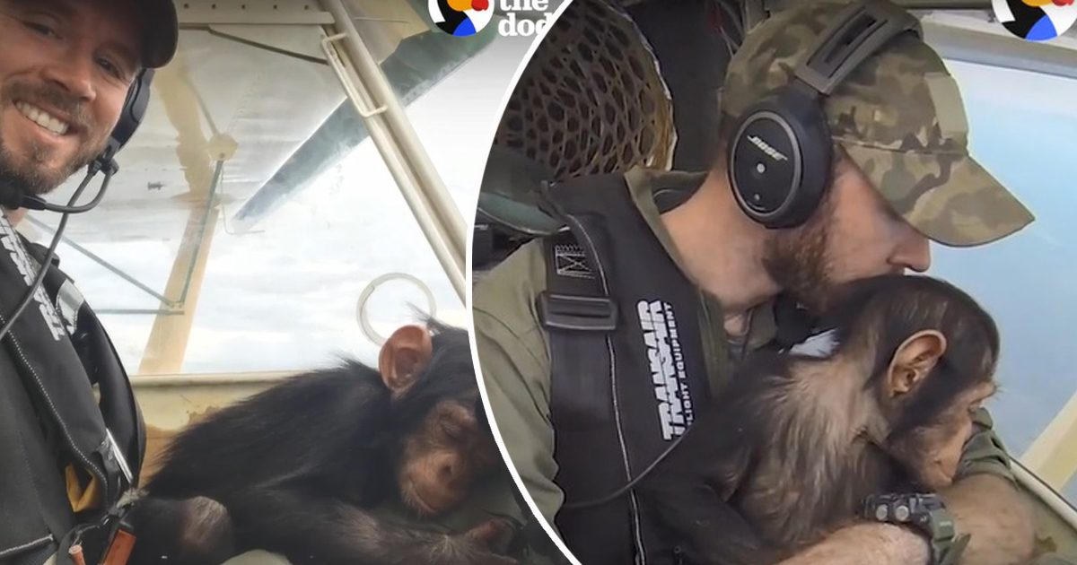 Heartwarming moment orphaned baby chimp finds comfort in the
