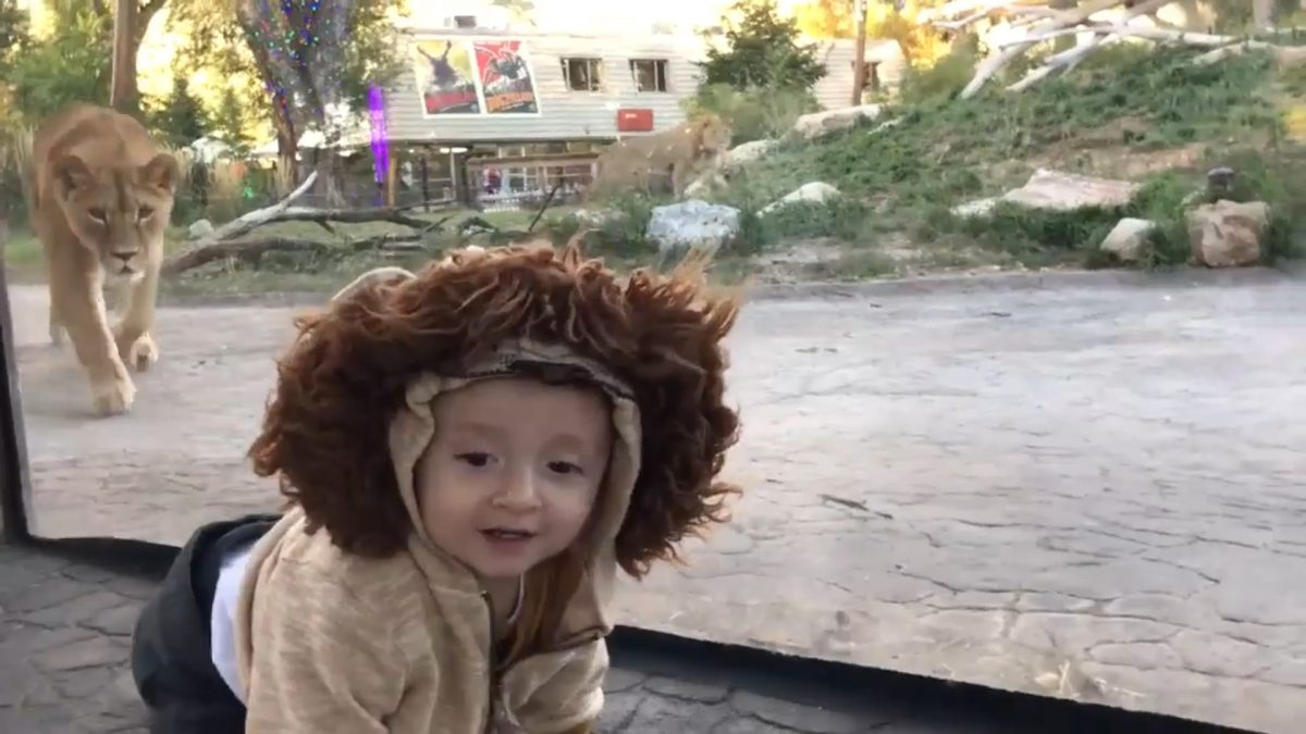 These Two Lionesses Confused The Toddler Clad In A Fur Hood