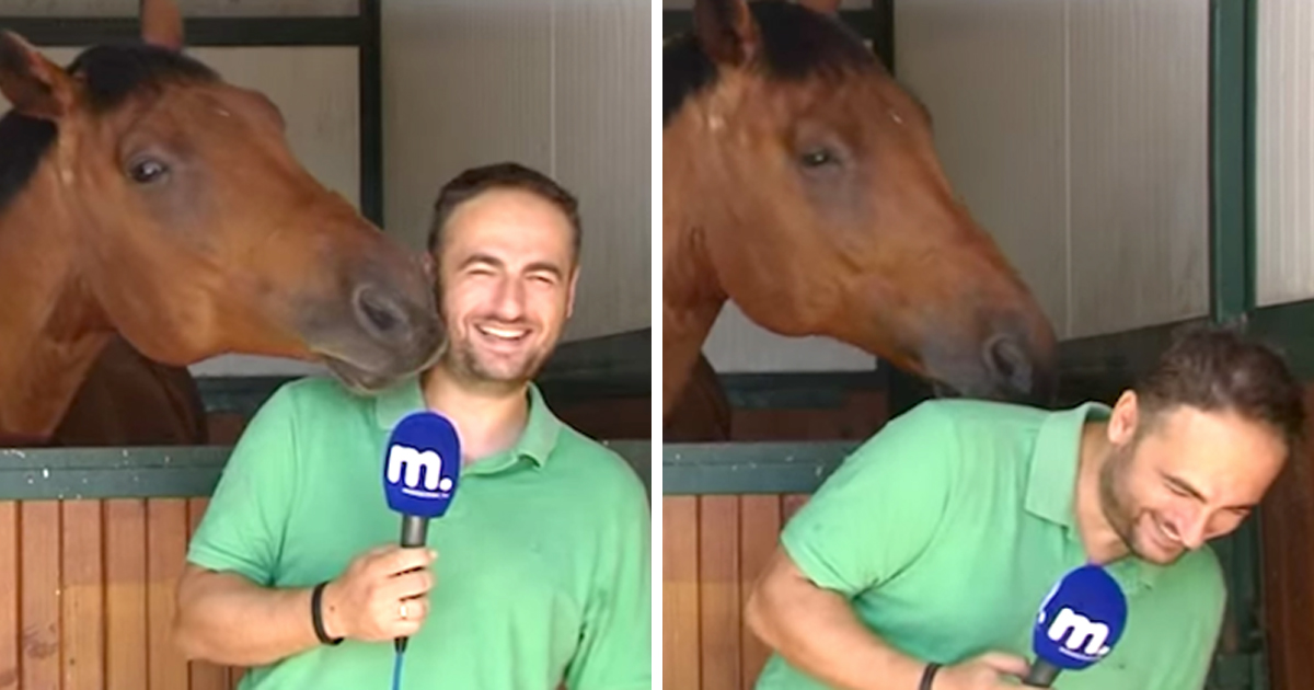 [Video] Adorable moment when super affectionate horse interrupts reporter with kisses—making him laugh uncontrollably