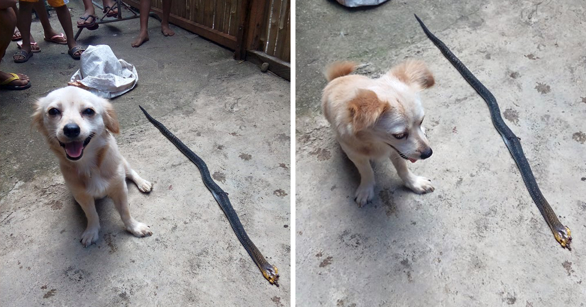 Brave dog tragically dies 5 minutes after proudly rescuing its owner from venomous cobra